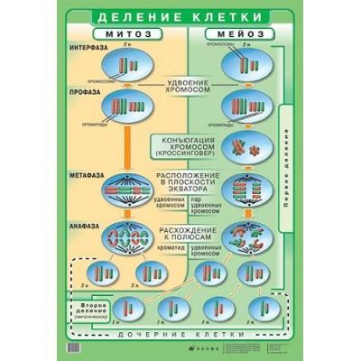 Стенд Ділення клітини